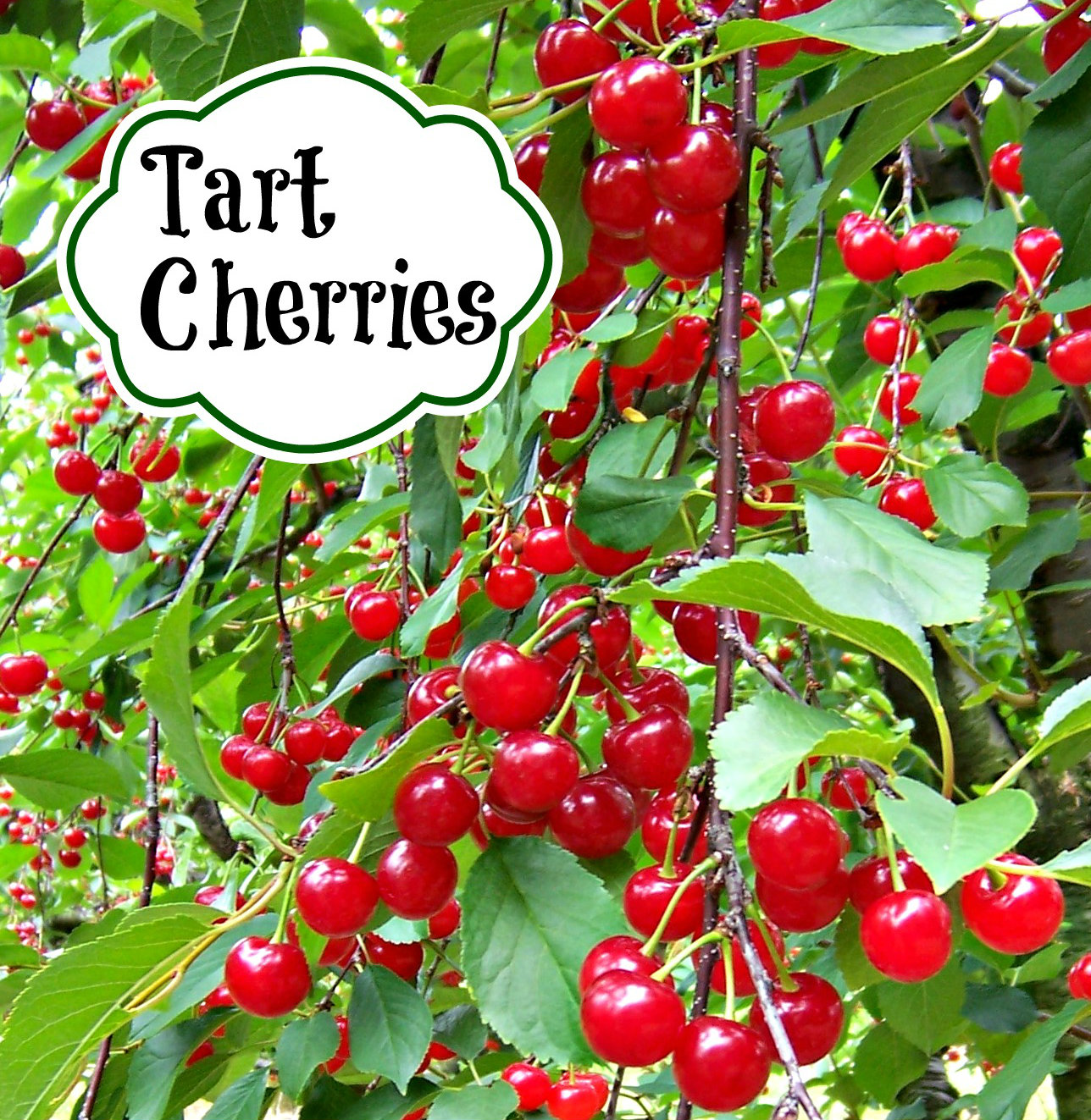 Tart-Cherry-banner-1-cropped